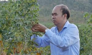 Hơn 400 ha sắn ở Ninh Thuận bị bệnh khảm lá