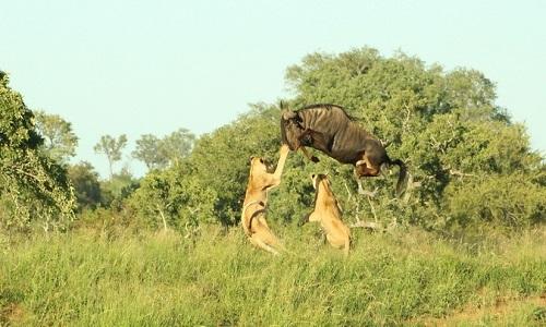 Linh dương đầu bò phi thân qua đầu sư tử trốn thoát ngoạn mục