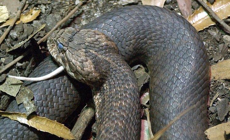 Rắn hổ làmột trong những loài rắn độc nhất thế giới. Ảnh: Australianmuseum.net.au.