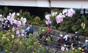 Hoa kèn hồng nở rộ trên phố Sài Gòn