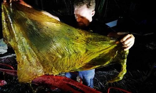 Một chiếc túi nylon lớn trong bụng con cá voi. Ảnh: National Geographic.