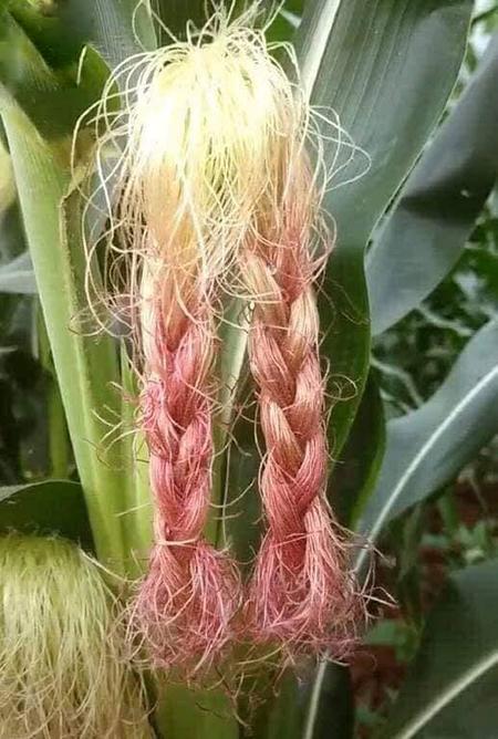 Bạn thích làm tóc nhưng bố mẹ bắt đi trồng ngô