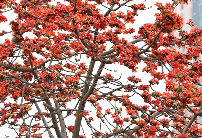 Tháng 3, hoa gạo ở khắp miền Bắc và miền Trung nở rộ. Ảnh: Ngoisao.