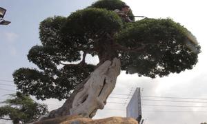 Cây me keo hơn 100 tuổi của người đàn ông Bà Rịa - Vũng Tàu