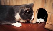 Tại sao mèo vồ chuột nhưng không cắn chết?
