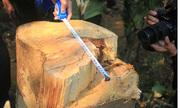 Hàng chục cây gỗ lớn ở Quảng Nam bị đốn hạ