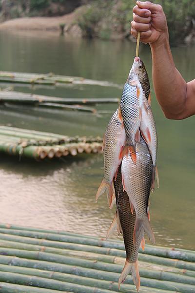 Do được bảo vệ nên cá trên sông Luồng qua bản Ngàm còn khá nhiều.Chỉ cần quăng chài vài tiếng, dân bản có thể thu về cả tạ cá để làm cỗ. Ảnh: Lê Hoàng.
