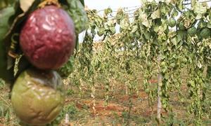 Vườn chanh leo 2.000 gốc bị phá hoại ở Gia Lai
