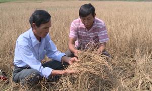 Hàng trăm ha lúa ở Huế có nguy cơ mất trắng do hạn hán