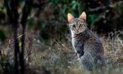 Loài mèo rừng được thuần hóa 6.000 năm trước để bắt chuột