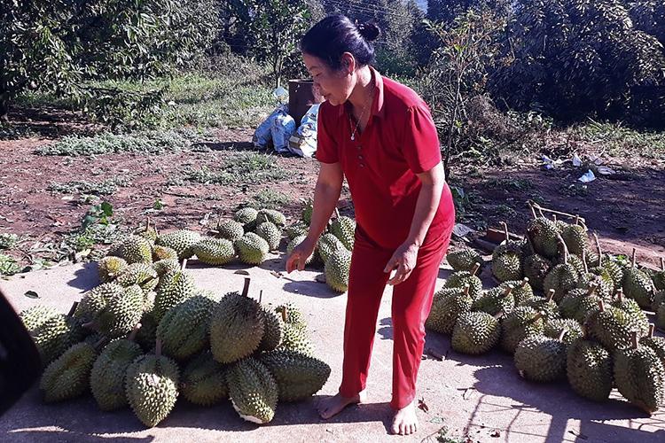 Người dân Hà Lâm thu gop sầu riêng bị lốc xoáy tuốt rụng
