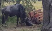Mắc sừng khi giao đấu, đôi linh dương nộp mạng cho linh cẩu