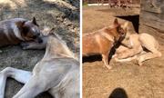 Tình bạn giữa chó chăn gia súc và ngựa con mồ côi ở Mỹ