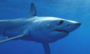 Loài cá mập nhanh nhất thế giới đứng trước nguy cơ tuyệt chủng