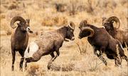 Cuộc chiến khốc liệt giành quyền giao phối ở cừu sừng lớn