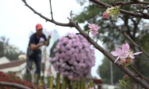 20.000 cành hoa sắp đặt cho lễ hội anh đào Nhật Bản