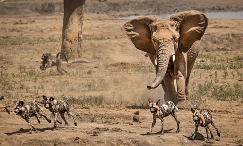 Những con chó hoang bỏ chạy khi bị voi xua đuổi. Ảnh: Kevin Dooley.