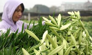 Hoa loa kèn ở Hà Nội vào vụ thu hoạch