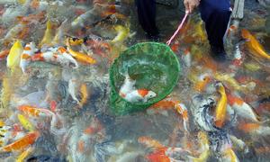 Thu tiền tỷ mỗi năm từ việc nuôi cá Koi trên sông Đồng Nai