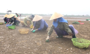 Hàng nghìn tấn ngao chết trắng tại Thanh Hóa