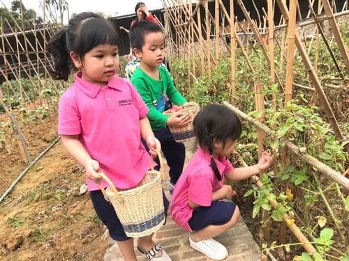Trẻ thu hoạch cà chua chín.