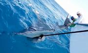 Cá mập đầu búa nặng hơn 500 kg cắn câu ngư dân Mỹ