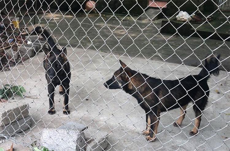 Hai trong số 10 con chó tấn công bé trai ở Hưng Yên. Ảnh: Xuân Sơn.