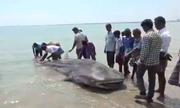 Xác cá mập voi dài 6 m dạt vào bờ biển Ấn Độ