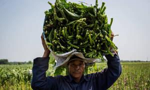 Cánh đồng thuốc lào ở ven Sài Gòn vào vụ thu hoạch