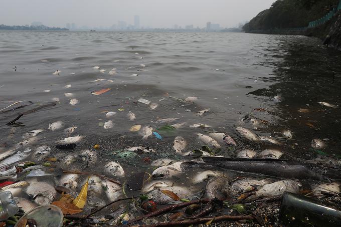 Cá chết dạt vào ven hồ Tây