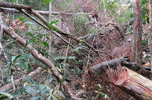 Hàng chục cây gỗ mun, táu, trâm... bị chặt hạ. Ảnh:Ng.Ph
