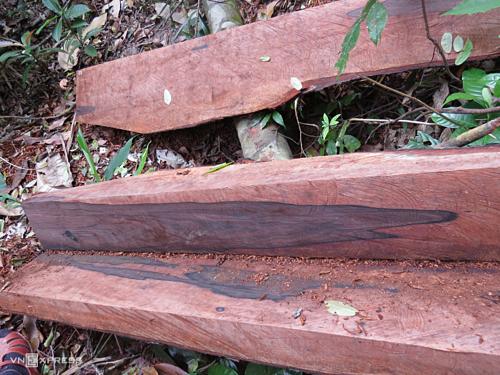Nhà chức trách khởi tố vụ án để tìm ra kẻ phá hơn 100m3 gỗ ở vùng lõi Vườn quốc gia Phong Nha. Ảnh: Ng.Ph