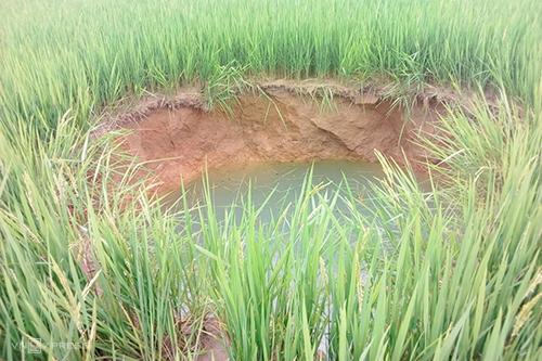 Hố sụt xuất hiện giữa ruộng lúa, liên tục hút hết nước trên chân ruộng. Ảnh: Hoàng Táo