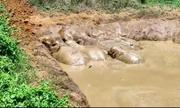 Cố cứu con non, cả đàn voi mắc kẹt dưới ao nước ở Ấn Độ