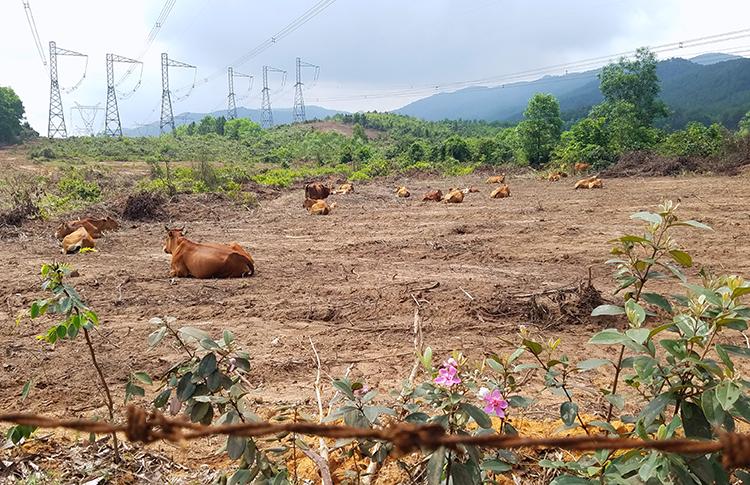 Trong số hơn 43.000 con bò nhập về, có 658 con bò nái được đem từ Gia Lai ra nuôi. Ảnh: Đức Hùng