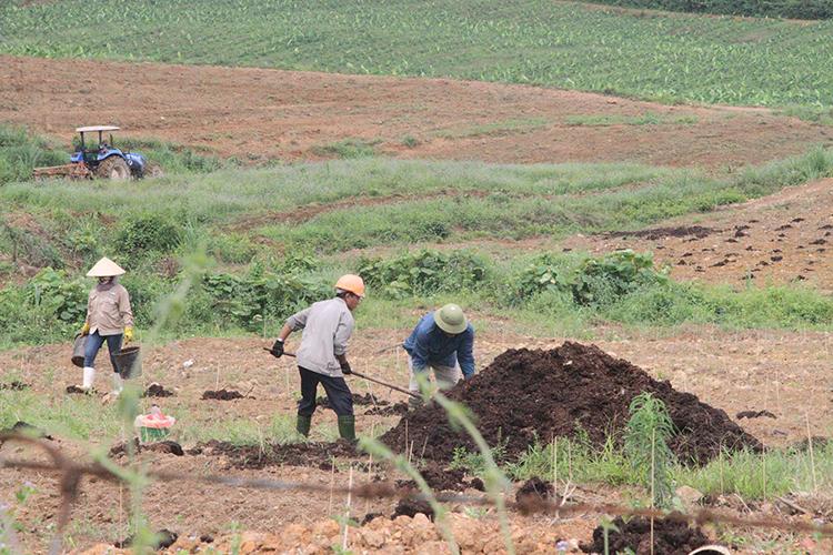 Công nhân trồng chuối tại dự án. Ảnh: Đức Hùng