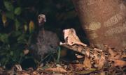 Rắn hổ lục lao ra tấn công chim nhanh như chớp