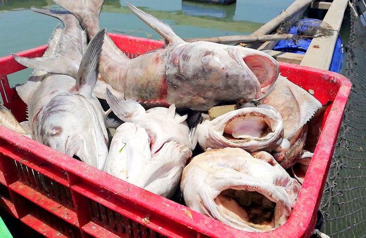 Cá bớp chết nặng từ 3-5 kg mỗi con. Ảnh: Nguyễn Khoa.