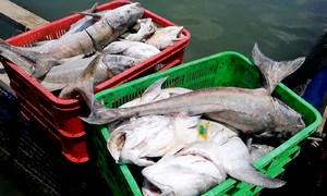Cá bớp 3-5 kg chết hàng loạt trong bè nuôi ở Vũng Tàu