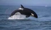 Gia đình cá voi sát thủ hợp sức săn sư tử biển