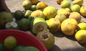 Sâu đục trái gây hại trên bưởi da xanh ở Bến Tre