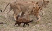 Những vũ khí của lửng mật khiến sư tử và rắn độc khiếp sợ
