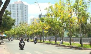 Hoa bò cạp vàng nở rộ trên phố Sài Gòn