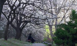 Người Triều Tiên thưởng ngoạn rừng hoa mơ giữa thủ đô Bình Nhưỡng