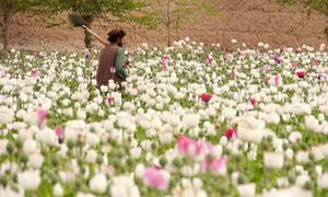 Cánh đồng hoa anh túc vẫn nở rộ ở Afghanistan