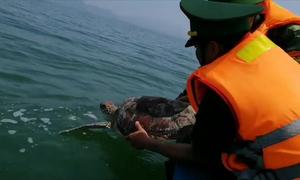 Thả rùa quý hiếm nặng 20 kg về biển