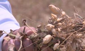 Hơn 500 ha lạc ở Huế khô héo vì hạn hán