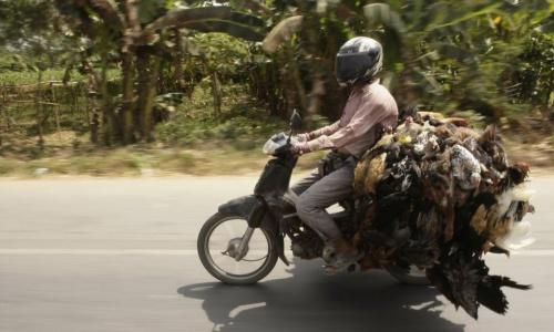 Một người chở gà tại Campuchia. Ảnh: Cambodia Daily.