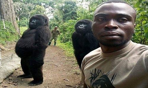 """Khỉ đột đứng thẳng """"tự sướng"""" cùng cán bộ bảo vệ rừng"""