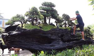 Bộ tiểu cảnh tùng la hán trên thân gỗ lũa giá 3 tỷ đồng